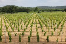 Ramatuelle Vineyard Royalty Free Stock Images
