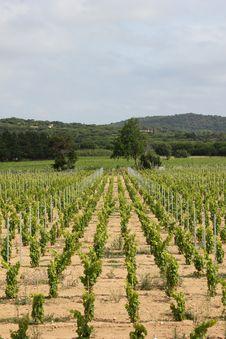 Vineyard Near Ramatuelle, Provence Royalty Free Stock Photos
