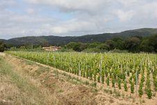Vineyard Near Ramatuelle, Provence Stock Photos