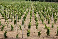 Vineyard Near Ramatuelle, Provence Royalty Free Stock Photography