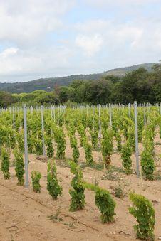Free Vineyard Near Ramatuelle, Provence Royalty Free Stock Photo - 20328795