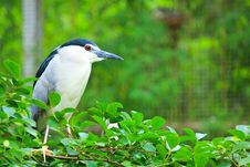 Free Black-crowned Night Heron In The Zoo,Thailand. Stock Image - 20329831