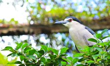 Free Black-crowned Night Heron In The Zoo,Thailand. Stock Photography - 20329862