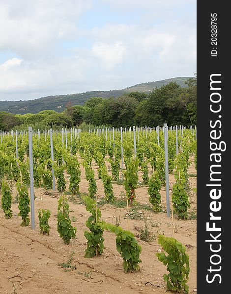 Vineyard near Ramatuelle, Provence