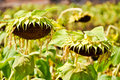 Free Dry Sunflower Field Stock Image - 20334291