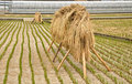Free Group Of Straw In The Farm Stock Images - 20335274