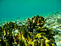 Free Yellow Coral Royalty Free Stock Images - 20339919