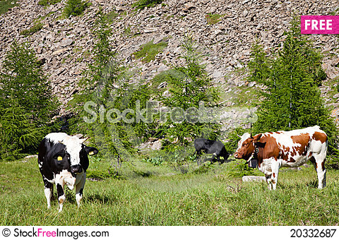 Free Cows And Italian Alps Royalty Free Stock Photography - 20332687