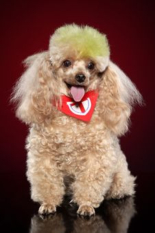 Free Apricot Poodle Royalty Free Stock Photo - 20331505
