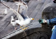 Free Hungry Seagull Stock Image - 20331891