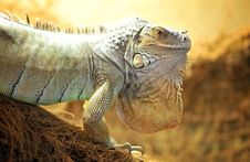 Free Green Iguana Royalty Free Stock Photos - 20332368