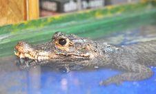 Free Black Eyes Crocodile Stock Photography - 20332412