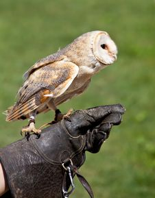 Free Barn Owl (Tyto Alba) Royalty Free Stock Photo - 20332635