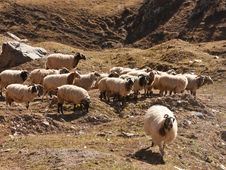 Free Flock Of Sheep Royalty Free Stock Photos - 20333038