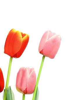 Free Tulip Royalty Free Stock Image - 20333436