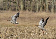Free Greylag Goose Royalty Free Stock Photo - 20334085
