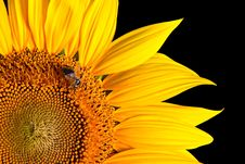 Free Sunflower Close-up Royalty Free Stock Photos - 20334148