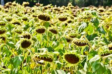 Free Dry Sunflower Field Stock Photos - 20334313