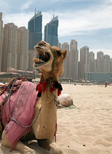 Free Camel. Stock Photo - 20334930