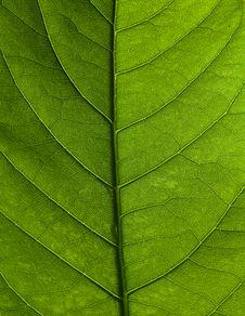 Free Leaf Stock Photo - 20335320
