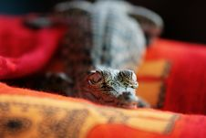 Free Little Crocodile Stock Photo - 20335550