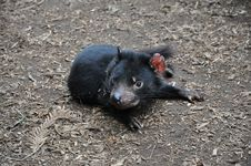 Tasmanian Devil Stock Photography