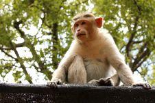 Free Indian Monkey Royalty Free Stock Images - 20338529