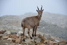Free IBEX Royalty Free Stock Image - 20338746