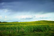 Free Field Of Canola Stock Photography - 20338852