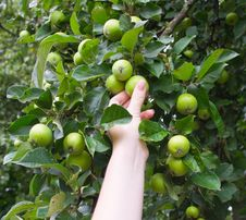 The Hand Breaks Green Apples In Garden Royalty Free Stock Photography