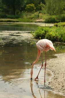 Free Flamingo Royalty Free Stock Photos - 20339948