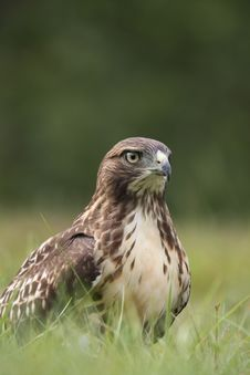 Free Red-tailed Hawk Stock Images - 20339984