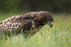 Free Red-tailed Hawk Royalty Free Stock Photo - 20339985