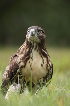Free Red-tailed Hawk Stock Image - 20339991