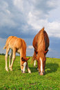 Free Foal With A Mare On A Summer Pasture Royalty Free Stock Image - 20345696