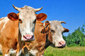 Free Cows On A Summer Pasture Royalty Free Stock Photos - 20345828