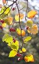 Free Berries Of Autumn Royalty Free Stock Photos - 20346088