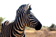 Free Zebra Portrait Royalty Free Stock Photo - 20340205
