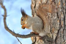 Free Red Squirrel. Royalty Free Stock Image - 20340236