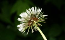 Free Dandelion Close Up Stock Photography - 20340332