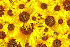 Free Sunflower Stock Images - 20340474