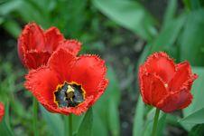 Free Tulips Royalty Free Stock Photo - 20341725
