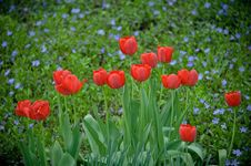 Free Tulips Royalty Free Stock Image - 20341726