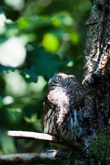 Free Tengmalm S Owl (Aegolius Funereus) Stock Photos - 20342143