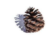Free Pine Cone Stock Photography - 20342292