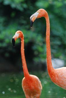 Free Two Flamingos Stock Photo - 20343420