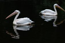 Free Two Pelicans Stock Image - 20343501