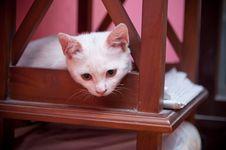 Free Kitten Royalty Free Stock Image - 20344906
