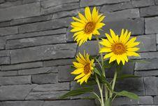 Free Sunflowers Royalty Free Stock Photos - 20345178