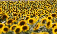 Free Sunflowers Stock Images - 20345224